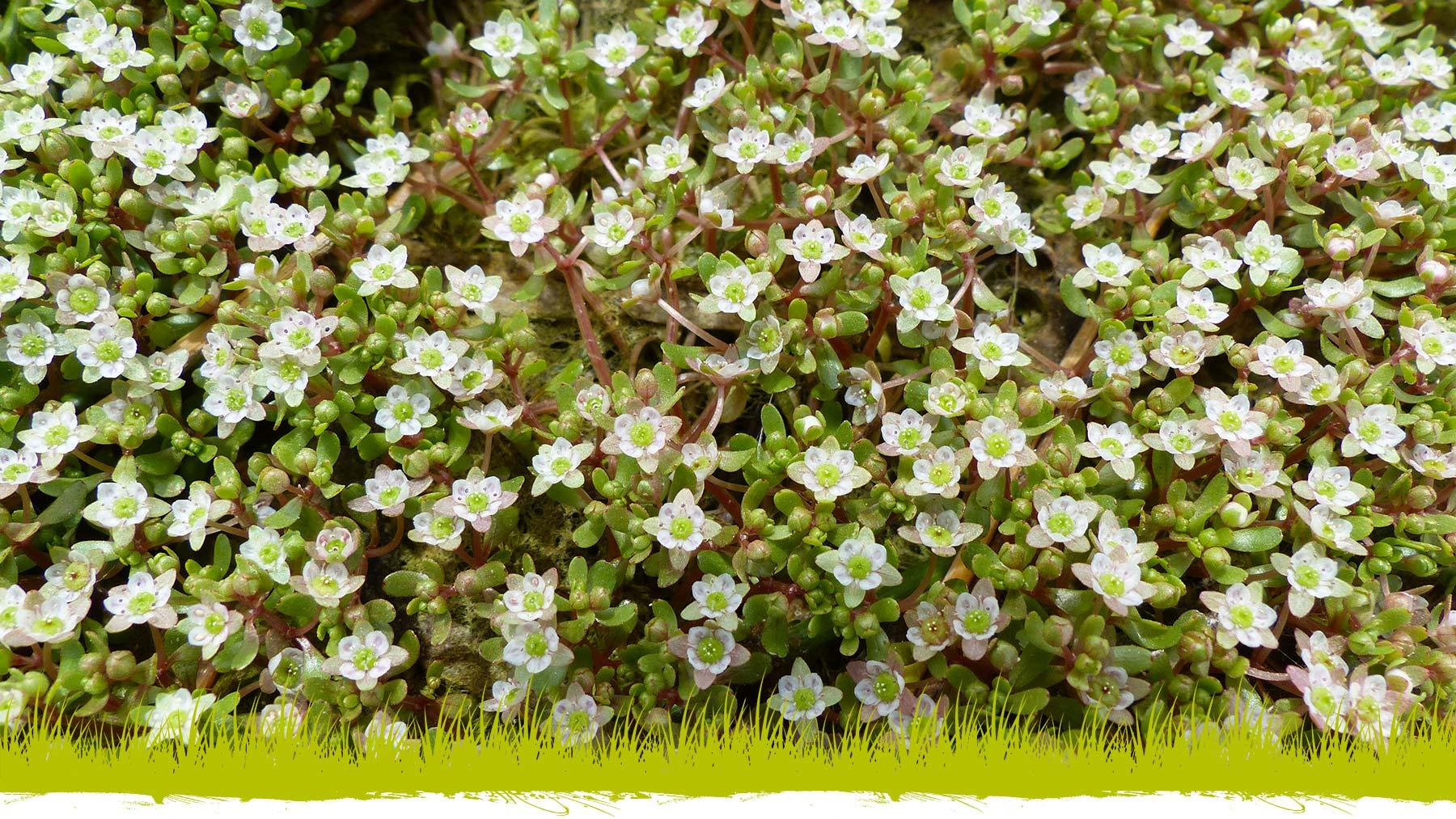Élatine à long pédicelles : la flore de la Réserve naturelle régionale du Marais de la Vacherie