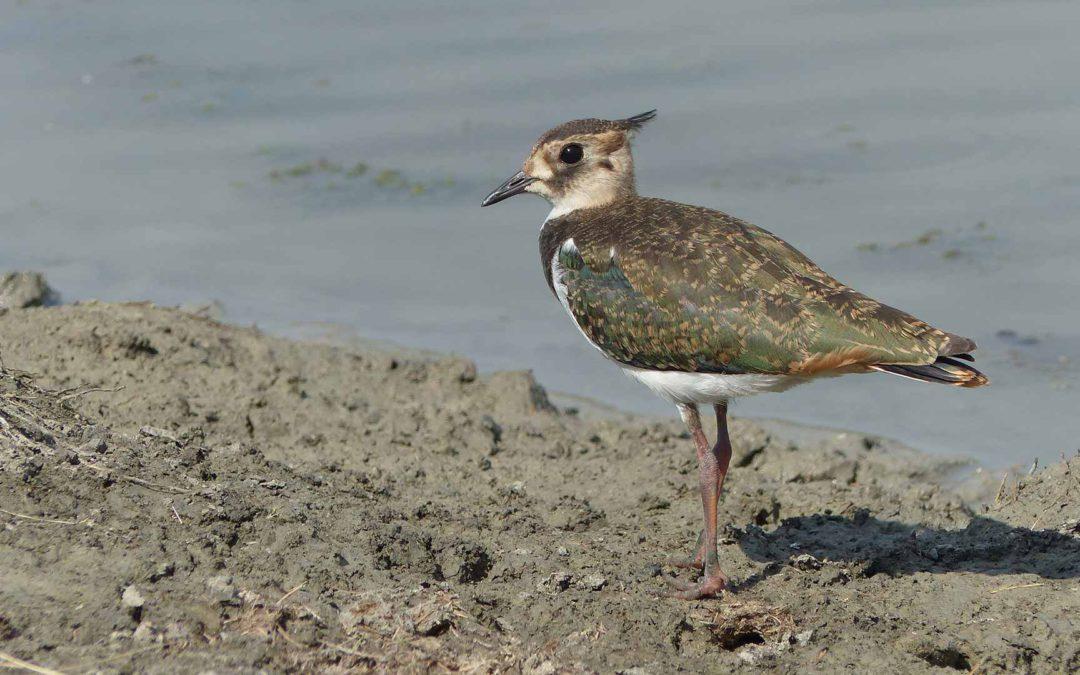 Vanneau Huppé - Bilan de nidification 2017 sur la Réserve du marais de la Vacherie