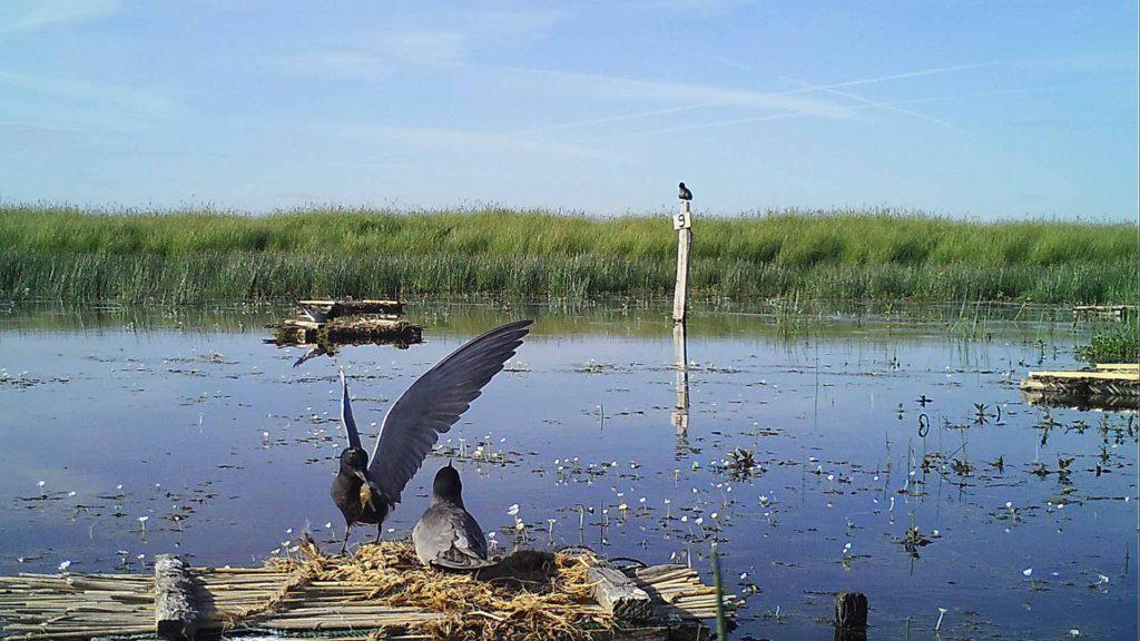 Échange de nourriture entre adultes de Guifette noire au nid -Réserve du marais de la Vacherie