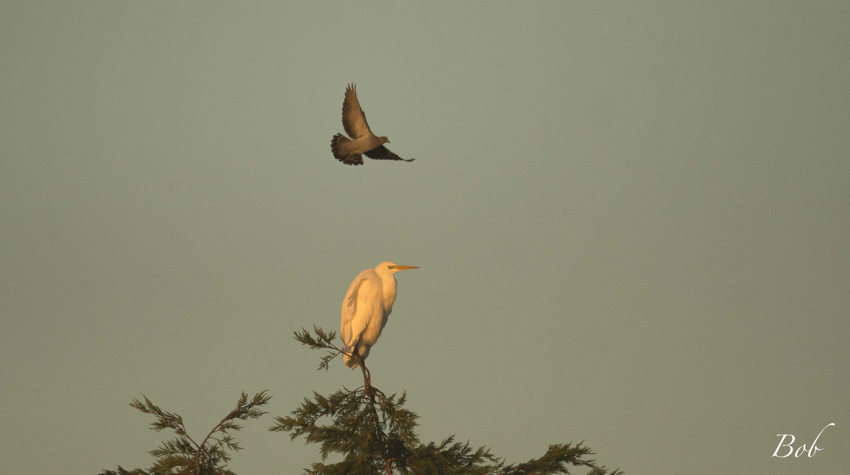 Pigeon colombin et Grande Aigrette © Bob Aublin