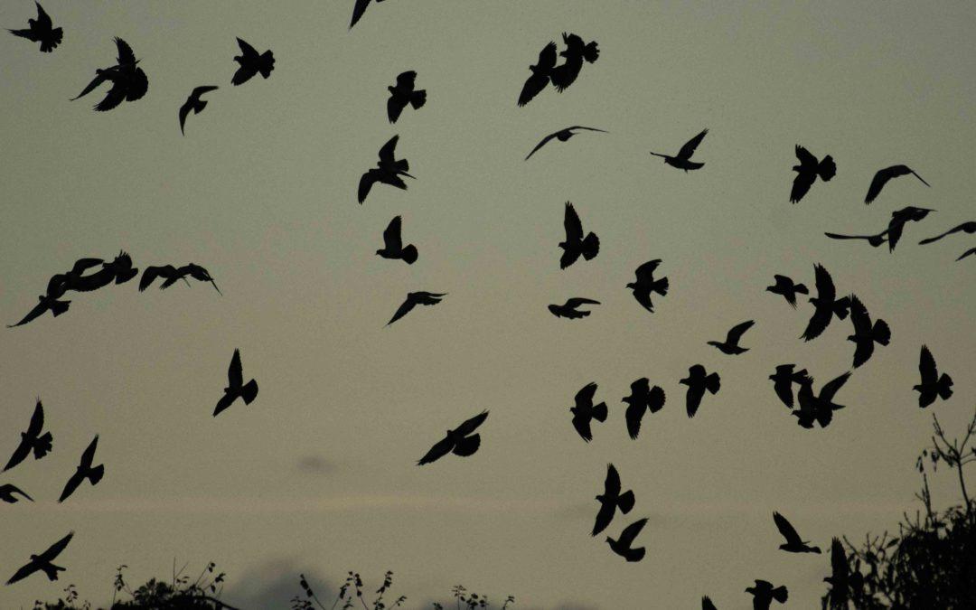 Pigeon colombin © Bob Aublin