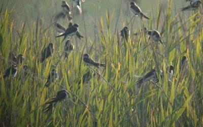 Comptage ornithologique à la Vacherie – 18/08/2020