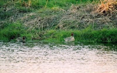 Comptage ornithologique à la Vacherie – 04/11/2020