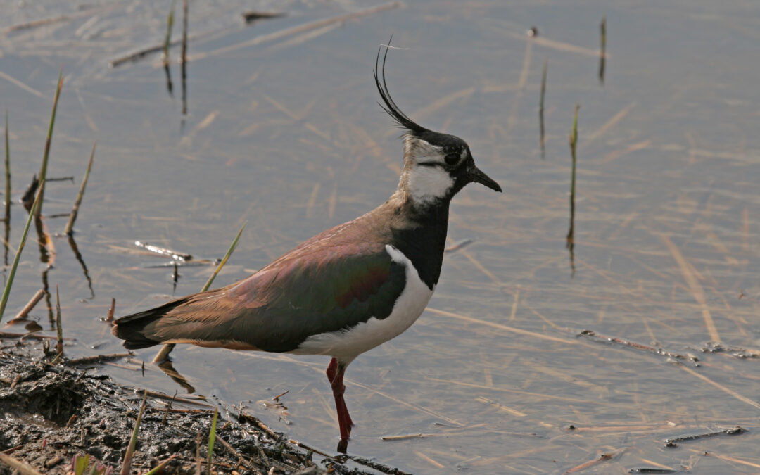 Comptage ornithologique à la Vacherie – 15/12/2020
